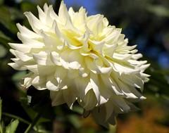Impoluto (alfonsocarlospalencia) Tags: macro blanco luz flor septiembre amarillo crisantemo belleza puntas jardn botnico japn ptalos pureza impoluto nveo