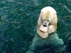 yummy (BrigitteE1) Tags: blue white fish ice water animal cake germany zoo yummy wasser europe polarbear blau hanover tier eisbär ursusmaritimus icecake 白熊 북극곰 erlebniszoohannover