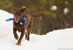 In a shower of snow (KB RRR) Tags: dog snow colorado rockymountains frontrange chocolatelabrador shyla