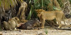 Cubs with Zebra foal (jaycees2012) Tags: cats tanzania lion mammals animalia mammalia tz pantheraleo felidae pwani selousgamereserve lakenzerakera