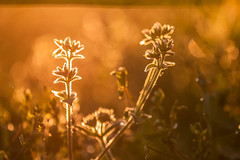 Morning! (Nathalie Le Bris) Tags: flower macro fleur backlight sunrise contraluz alba bokeh flor amanecer aurora contrejour goldenhour aurore aube horadorada heuredore