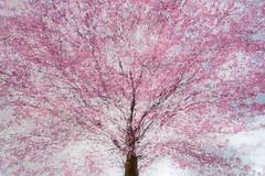 tree visions (Sandra Bartocha) Tags: spring layers multiexposure springishere treevisions awesomeblossoms sandrabartocha