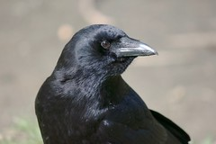Going through The Poses 002 (Stirrett6) Tags: portrait crow northwestern corvid jerichopark