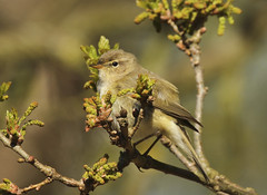 Chiffchaff (Prank F) Tags: bird nature wildlife sandy warbler thelodge rspb chiffchaff bedfordshireuk
