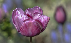 Deference!! (Good Nature One) Tags: pink blue white flower macro green nature tulip bloom deference