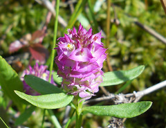 Cross-leaved Milkwort (Polygala cruciata) (John Scholze) Tags: wisconsin wildflower wetland polygala milkwort cruciata crossleaved