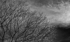 Branches and Cloud - April 2016 (GOR44Photographic@Gmail.com) Tags: wood sky cloud tree ir mono woods branch fujifilm wgc 35mmf14 xpro1 sherrards gor44