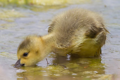Canada Goslings 4-30-2016-7 (Scott Alan McClurg) Tags: life wild baby canada bird nature water animal swimming swim geese spring woods wildlife goose neighborhood wetlands suburbs gosling gliding waterfowl canadagoose canadageese waterbirds naturephotography glide branta anserinae anserini bcanadensis babygosling