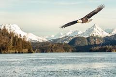 Memory of Alaska (Andy Morffew) Tags: composite alaska baldeagle kachemakbay chinapoot andymorffew morffew