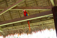 Macaw in dining room of Tambopata Research Center in Peru-08 5-31-15 (lamsongf) Tags: travel peru southamerica tambopata amazonbasin
