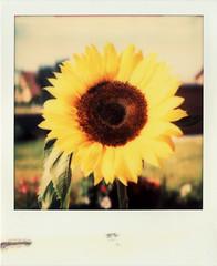 just a hippie dream (Thomas Remme) Tags: flower film analog polaroid ishootfilm sunflower instant blume sonnenblume polaroidsx70 filmisnotdead sofortbild canoscan8800f impossiblefilm