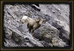road less traveled (zawaski) Tags: eye rock climb sheep horns hike boulders rockymountains steep shale mountainsheep surefooted beautyalbertacanadaambientlightnoflashcanmorecalgaryzawaski2016rockymountainscanonefs18200mmf3556is