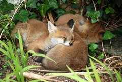 Sleeping Fox Cubs (brian&aoife) Tags: ireland red urban dublin irish orange dog nature garden mammal cub wildlife fox kits cubs kit rua irelands madra canidae vulpes sionnach