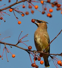 Cedar waxwing (ChipM2008) Tags: minnesota minneapolis cedarwaxwing lakeharriet