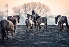 To higher grounds (Ingeborg Ruyken) Tags: morning portrait horse sunrise dawn flickr nederland thenetherlands move denbosch dropbox ochtend shertogenbosch paard noordbrabant konik zonsopkomst natuurfotografie verplaatsing diezemonding 500pxs