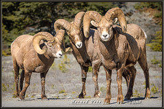 Horned Trio (Maclobster) Tags: mountain sheep wildlife horns alberta parkway icefield