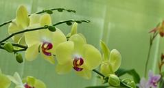Panasonic FZ1000, Orchids, Botanical Gardens, Montral, 24 April 2016 (21) (proacguy1) Tags: orchids montral botanicalgardens panasonicfz1000 24april2016