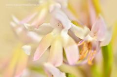 Anacamptis pyramidalis (Xavier Mas Ferr) Tags: orchid blanca ibiza orchidaceae eivissa orqudea balears anacamptis anacamptispyramidalis orqudeapiramidal barreret apocromtica