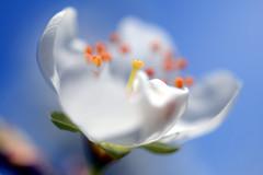 B L   M (rainbowcave) Tags: macro blossom plum bloom makro blte plumtree zwetschge pflaume