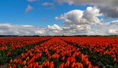 Tulip field - Holland (syssy70) Tags: flowers holland holidays tulip netherland fields lands olanda landascape fioritura