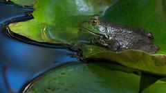 American bullfrog (jim_mcculloch) Tags: frog amphibians dsc2404