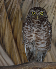 Burrowing Owl (Athene cunicularia), Homestead, Florida, USA. (Pablo L Ruiz) Tags: athenecunicularia burrowingowl