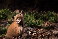 Renard roux (stefdenis3006) Tags: canada montral qubec jardinbotaniquedemontral juvnile renardroux animauxmammifres constructionesplanadeplaceetjardin