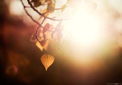(Photographordie) Tags: light sunset hoja primavera luz pen atardecer leaf spring glow glare bokeh olympus flare otoo lonely rokinon microfourthirds microcuatrotercios rokinon85mm epm2 olympuspenepm2 samyangasphericalif85mmf14