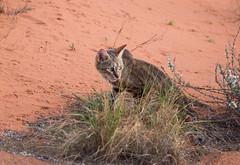 Pretty small cat and red dunes (jaffles) Tags: park holiday nature southafrica outdoor wildlife natur olympus safari wildcat kalahari ktp südafrika transfrontier awc wildkatze kgalagadi