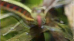 Garter Snake (Tyrannodactyl) Tags: red macro garter video reptile snake handheld serpent sided