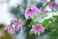 コダチダリア/Dahlia imperialis (nobuflickr) Tags: treedahlia dahliaimperialis コダチダリア awesomeblossoms キク科ダリア属 20151125dsc02507