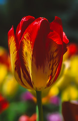 Bowral Tulip Festival_16565.jpg (Paul D'Ambra - Australia) Tags: flowers plant flower festival gardening country australia event tulip nsw newsouthwales tulipfestival bowral dambra sydneyphotographer pauldambra paulcambra lalentephotography