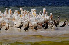 sandbar birds everglades-2015-12-21 10.25.16 (Brian Eagar Nature Photography) Tags: nature birds outside december fuji florida wildlife sandbar pelican everglades 2015 xf55200 fujixf55200