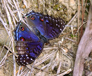 Junonia rhadama (Brilliant Blue) (Female)(MG-0022B)