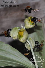 Catasetum macroglossum _DSC0400 (Valdison Ap. Gil, Rolim de Moura RO) Tags: brazil brasil catasetum macroglossum mamangava orkids rondnia