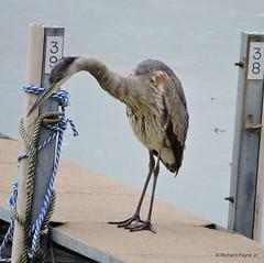 Juvenile Great Blue Heron_N7387 (Henryr10) Tags: bird heron ardea kellogg greatblueheron avian ohioriver herodias ardeaherodias 4seasonsmarina