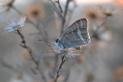 Lampides boeticus (esta_ahi) Tags: barcelona espaa insectos fauna butterfly spain lepidoptera mariposa peneds lycaenidae papallona lampidesboeticus polyommatinae polyommatini  lampides boeticus cantallops