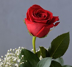 A Single Red Rose (ACEZandEIGHTZ) Tags: red macro rose closeup nikon babysbreath windsong d3200 heartawards platinumheartawards simplysuperb macroelsalvador excellentsflowers mimamorflowers saariysqualitypictures thebestofmimamorsgroups greatshotss mixofflowers rosesforeveryone cocoonofdreams