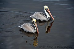 Brown Pelicans (Mike Woodfin) Tags: park color reflection bird pelicans nature water birds contrast photoshop canon reflections photography photo cool fishing nikon pretty fuji sebastian florida photos country picture pelican photograph refraction fl fowl crusty brownpelican waterway intracoastal indianriver indianrivercounty mikewoodfin mikewoodfinphotography