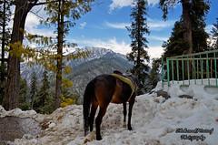 Miranjani Peak! (Shehzaad Maroof Khan) Tags: winter pakistan horse mountain snow nikon hill himalaya nathiagali miranjani abbottabad