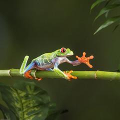 Hand of friendship! (susie2778) Tags: studio square olympus frog redeyedtreefrog mft 60mmmacrof28 captivelight em5markii