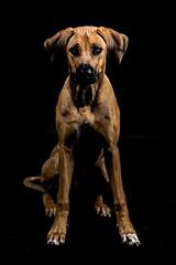 HS_Basti und Kira-34 (butchinsky) Tags: dog germany studio munich münchen hund kira rhodesianridgeback basti helli junghund hundefotografie butchinsky jungdog