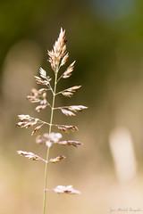 La fleur de gramine en fort tropicale (zambaville) Tags: macro fleur canon eos is usm fort proxy flore tropicale f28l ef100mm gramine lesquelin 5dsr