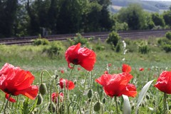 Poppies at Ranscombe Nature Reserve, Kent (rebecca_simmons87) Tags: flowers england nature canon kent traintracks railway poppy poppies poppyfield 70d ranscombefarm