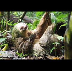 Three-toed sloth (Lucie et Philippe) Tags: voyage trip travel america central nicaragua centrale amrique riosanjuan riopapaturro losguatuzos losguatuzosnicaragua