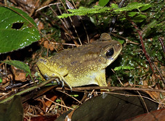 Common Indian Toad (Duttaphrynus melanostictus) (cowyeow) Tags: travel india green nature forest asian nationalpark asia wildlife indian amphibian toad herp westernghats ghats herpetology bufo agumbe herping commonindiantoad melanostictus duttaphrynus agumberainforestresearchstation duttaphrynusmelanostictus indiantoad rainforestresearchstation