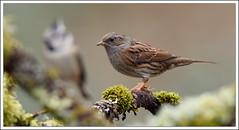 juste ce qu'il faut (guiguid45) Tags: bird nature nikon oiseaux sauvage loiret accenteur mouchet 500mmf4 d810 passereaux