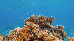 Pohnpei Reef (Packing-Light) Tags: ocean life water coral marine underwater submarine fsm reef fm micronesia oceania pohnpei federatedstatesofmicronesia