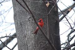 Neighborhood Cardinal (amillionroads412) Tags: red tree bird nature cardinal