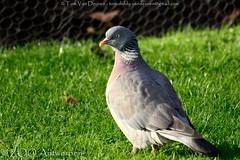 houtduif - Columba palumbus - Common Wood Pigeon (MrTDiddy) Tags: wood bird zoo pigeon antwerp common antwerpen hout vogel zooantwerpen duif columba palumbus houtduif